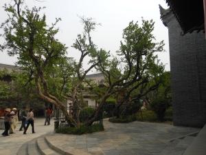pomagranite tree